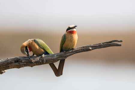 which one: Two Bee-eaters on branch of which one is eating a bee Stock Photo