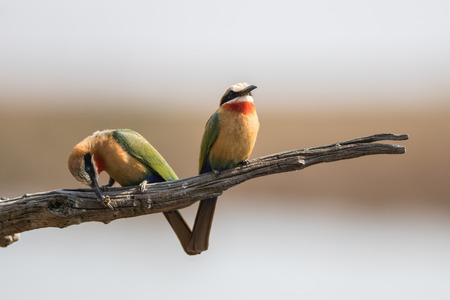 Two Bee-Eaters and one is eating a bee Stock Photo