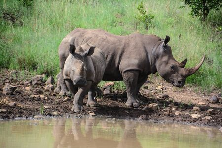 Mother and child rhinoceros drinking water at the edge of a watering hole