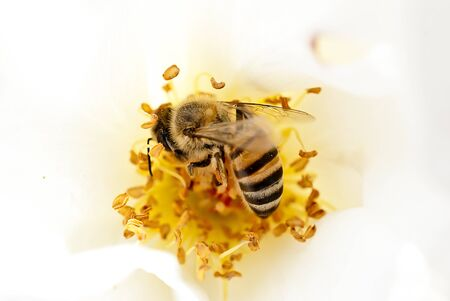 A bee collecting pollen in a white rose Stock Photo - 46912690
