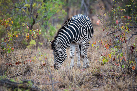 Zebra Eating grassing Stock Photo - 62838851