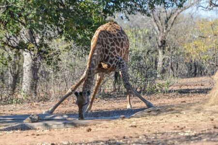 Giraffe drinking at waterholle Stock Photo
