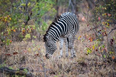 grassing: Zebra Eating grassing Stock Photo