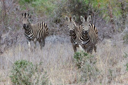 Three Zebra's grazzing in fields and looking forward Stock Photo - 63189778