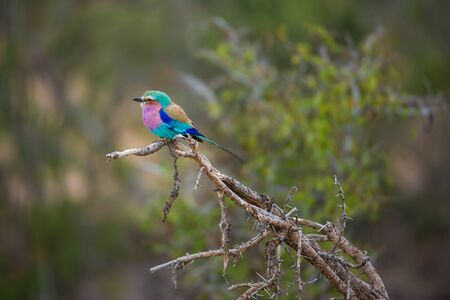 Lilac-Beasted Roller pirched on a thorny branch