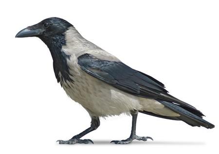 Cuervo encapuchado aislado en blanco