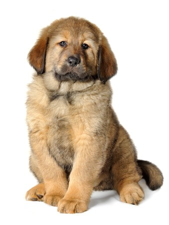 Puppy tibetan mastiff in front of white background and facing the camera photo