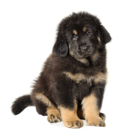 mastiff: Puppy tibetan mastiff in front of white background and facing the camera