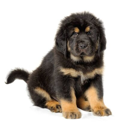 pups: Puppy tibetan mastiff in front of white background and facing the camera