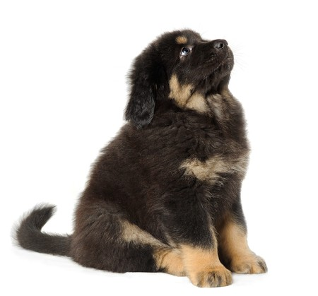 Puppy tibetan mastiff in front of white background looking up photo