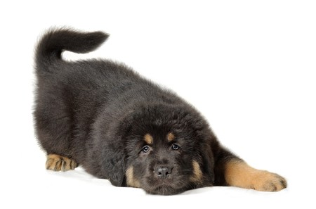 Puppy tibetan mastiff  lying down in front of white background and facing the camera photo