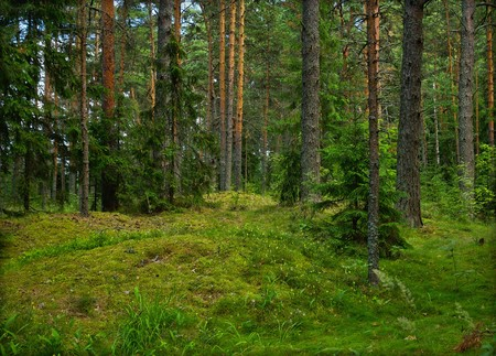 mystical forest: Green pine forest in summer Stock Photo