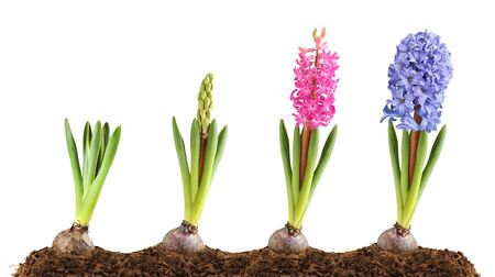 Pink and blue hyacinth in different stages of blooming photo