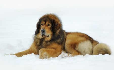 Tibetan mastiff lying on the snow