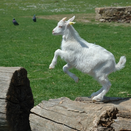 goats: White baby goat jumping on a log against the green grass