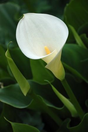 White Calla Lilly Close-up photo