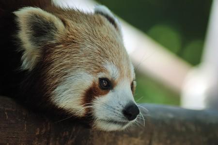 Red panda closeup photo