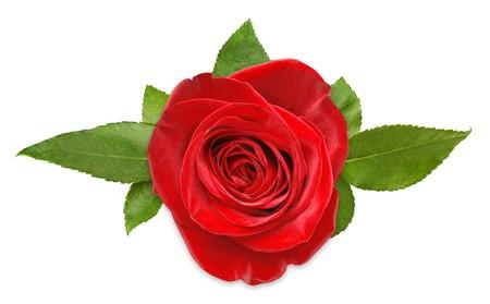 rosas rojas: Red aumentó con hojas aislados en blanco