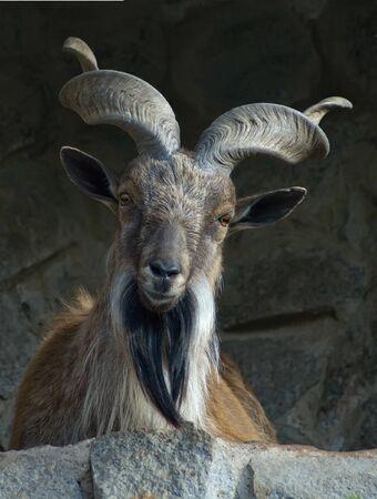 goat capricorn: Portrait of a markhor lying on rock