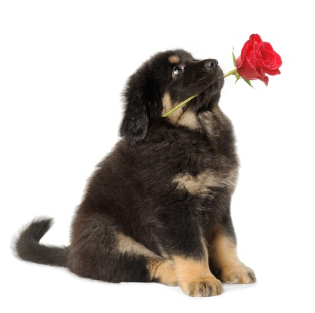 friendship: Puppy dog holding red rose in its mouth, looking up, isolated on white
