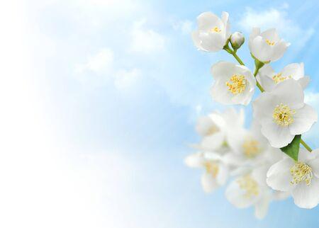 Jasmine blossoms against blue sky