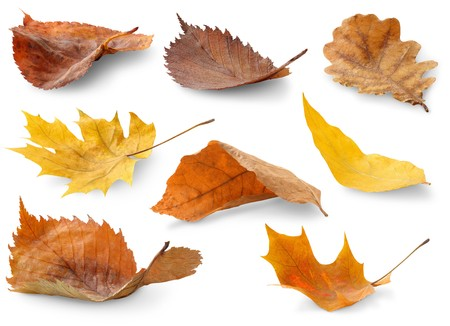 colorful maple trees: Collection of autumn leaves isolated on white Stock Photo