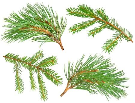 evergreen branch: Colecci�n de ramas de pinos y abetos aislados en blanco