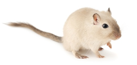 critters: Cute little gerbil of siamese color isolated on white background