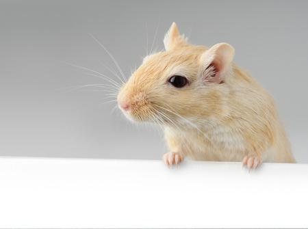 Cute little gerbil standing above white banner photo