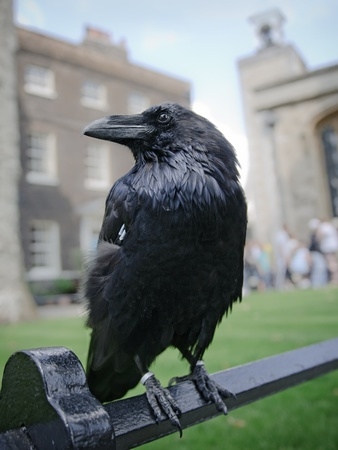 crows: One of famous ravens in the Tower of London, UK Stock Photo