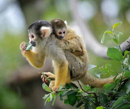 Black-capped squirrel monkey sitting on tree branch with its cute little baby Imagens