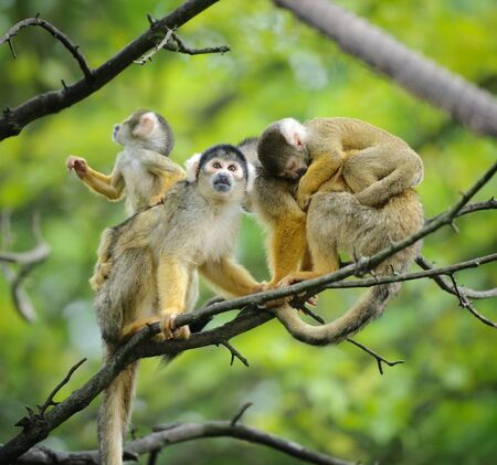 Black-capped squirrel monkeys sitting on tree branch with their cute little babies photo