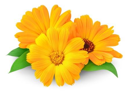 Calendula flowers isolated on white Stock Photo