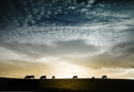 Silhouettes of cows on meadow against dramatic sunset Imagens