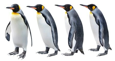 白で隔離される様々 なポーズでのキング ペンギン