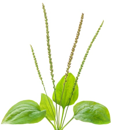 Common plantain, medical herb isolated on white Stock Photo