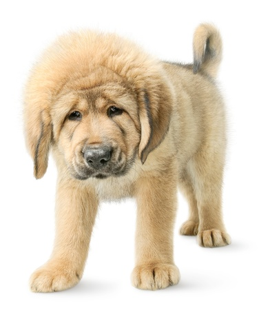 Serious Tibetan mastiff puppy looking straight in camera isolated on white photo