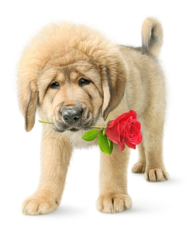 animal watching: Funny puppy with red rose isolated on white