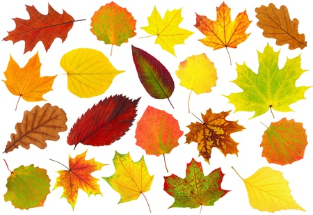 autumn: Colorful autumn leaves collection isolated on white Stock Photo