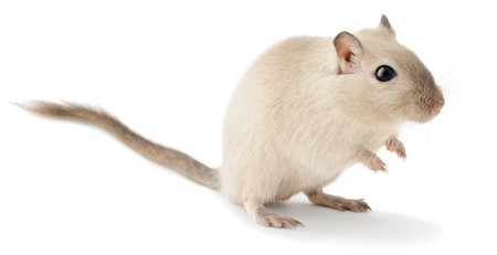 かわいいの小さなスナネズミを白で隔離されます。