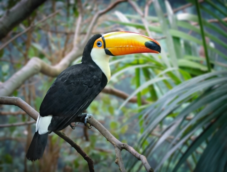 Toco Tucan sitting on a branch in a jungle