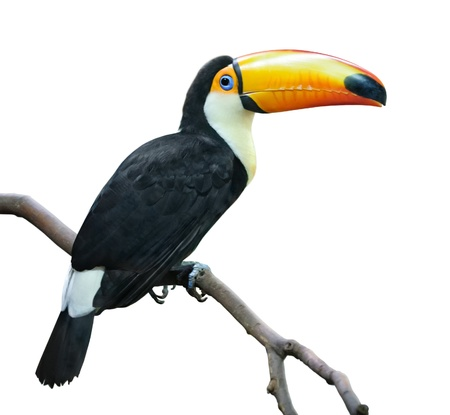 Toco Tucan on a branch isolated on white