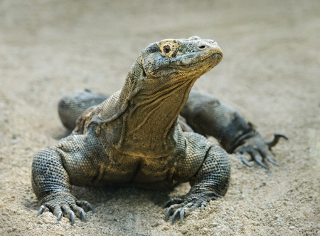 merciless: Komodo Dragon, the largest lizard in the world