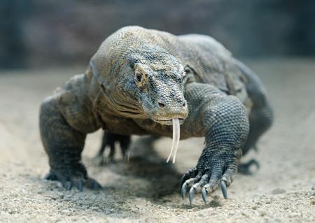 コモドドラゴン世界最大トカゲ 写真素材