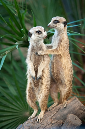 suricata suricatta: Two meerkats or suricates standing watching out Stock Photo