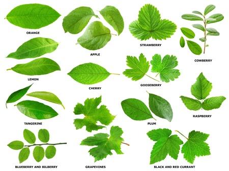 フルーツとベリーの低木と木の葉緑のコレクション 写真素材