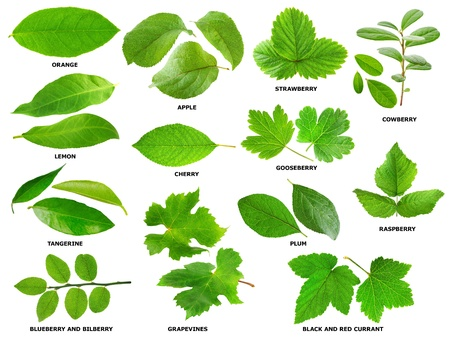 Collection of green leaves of fruit and berry shrubs and trees