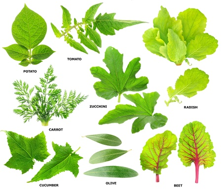 potato tree: Collection of green leaves of  vegetable plants isolated on white