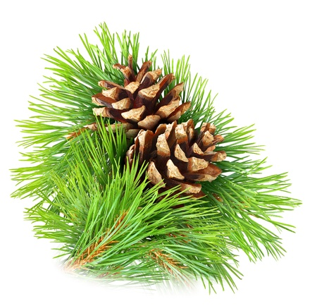 Pine branch with cones isolated on white photo
