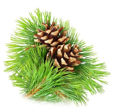 arbol de pino: Rama de pino con conos aislados en blanco